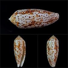 Conus nussatella, Olango Isl., Philippines, 46,5 mm,  HIGH QUALITY