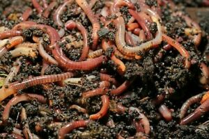 Kompostwürmer, Gartenwürmer, Regenwürmer, Wurmkiste, Wurmcafe, Humus, Wurmdaddy