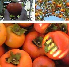 winterharte Kaki virginia - pflegeleichte Blühsträucher Beerenpflanzen Obstbäume