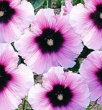 Hollyhock (Alcea rosea) 'Halo Candy' x 10 seeds. New bi-coloured variety