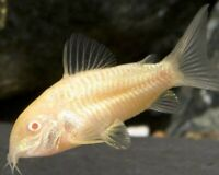 Albino Sterbai Corydoras Tank Raised MEDIUM live freshwater aquarium fish