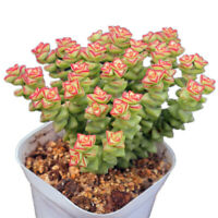 Succulent Live Plants - Crassula 'Tom Thumb' 6cm - Home Garden Lovely Rare Plant