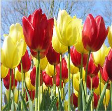 400 Pcs. Mixed Color,Tulip seeds, tulip flowers, beautiful (not tulip bulbs)