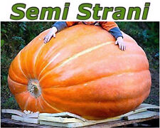 5 PURE SEEDS of The GIANT PUMPKIN ATLANTIC GIANT The Biggest of the world !
