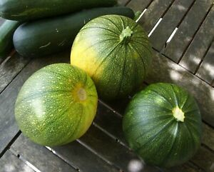 30 graines non traitées de Courgette Ronde de Nice - variété ancienne précoce