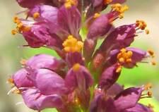 AMORPHA FRUTICOSA 100 semi seeds Falso indaco per apicultura