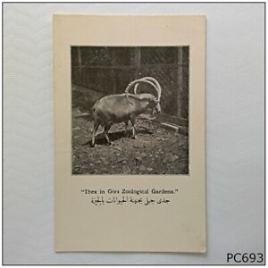 Ibex in Giza Zoological Gardens Egypt Old Postcard (P693)