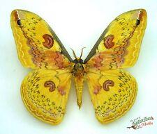 Golden emperor silk-moth Loepa anthera SET x1 A1- saturniidae collector art bug