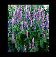Korean Mint  seeds  -AGASTACHE RUGOSA -1700 ( Net.Wt: 1g))