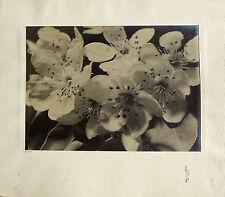 photo - Tirage d'époque 36 x 26 - Fleurs de poiriers - Pierre Leick - Reims 1941