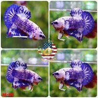 BS105- Live Betta Fish High Quality Halfmoon Plakat HMPK Blue Marble Koi