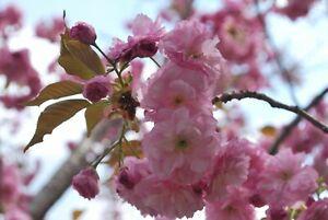 Japanese Cherry Blossom Seeds - Prunus serrulata - Sakura Tree Planting Seeds