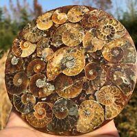 Disco de fósiles de amonites