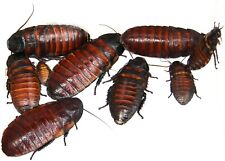 Starter Colony Madagascar Hissing cockroaches, feeder livefood Free Shipping