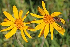 """/ die Blüte der Arnika """"Arnica chamissonis"""" wird von Bienen gerne besucht !"""
