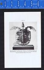 Plesiosaurus Skeleton, Long-necked Lizard & Fossil Turtle Skeleton-1934 Print