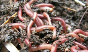 COMPOSTING WORMS FOR WORMERY 100g MEDIUM / LARGE ADULT WORMS