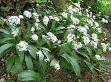 100g de feuilles fraiches ,  Ail des Ours , épices bio, naturel, sauvage