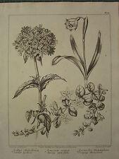 1805 DATED FLOWER PRINT ~ SCARLET LYCHNIS SPRING SNOW FLAKE CREEPING MONEYWORT