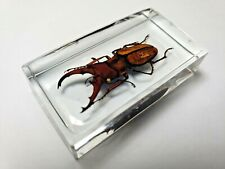 CYCLOMMATUS POHANGENSIS CHIANGMAIENSIS. Real insect embedded in clear resin