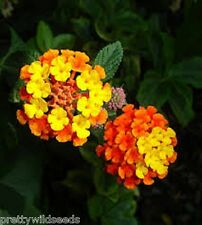 Lantana Camara Flower Seeds Tropical heavy blooming plant  30 seeds