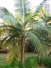 The Hurricane Princes Palm Dictyosperma album 1- 2 foot 3 gal