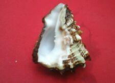 "Caribbean Vase Conch Shell, 3-1/4"" large"