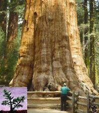 Der Riesen-Mammutbaum wird bis zu 3000 Jahre alt: Bergmammutbaum !