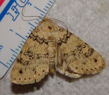 Lepidoptera Noctuidae Unknown Moth species New Mexico #0129-31 WOW Insect