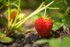 Evie Strawberry Plants, Non Gmo, Buy 2 Get 1 for free. (100)