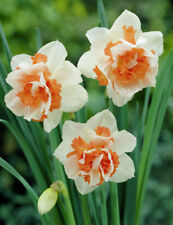 25x Daffodil REPLETE Bulbs * Bulb Narcissus CLEARANCE SALE *limited time Flowers