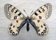 Parnassius hardwickii, partial bilateral GYNANDROMORPH (Nepal), A1+ quality