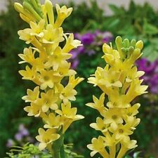 Polianthes Tuberose Baby Bulbs Tuber Roots Perennial Yellow Flower Rare Fragrant