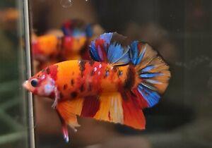 (Top Grade) Premium Live Betta Fish Male Nemo Koi Galaxy From Thailand