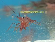 PEPPERMINT SHRIMP (Lysmata wurdemanni) MARINE AQUARIUM CLEAN UP CREW