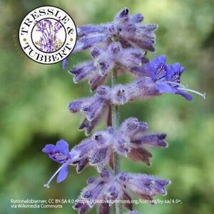 Perovskia atriplicifolia Russian Sage Rare 10 seeds UK Seller