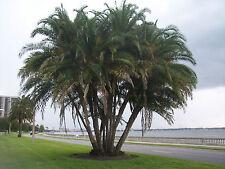 8 Graines - Palmier du Sénégal - PHOENIX RECLINATA - Palm Tree Seeds Samen