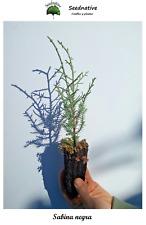 Planta de Sabina negra - Juniperus phoenicea - 2 Años