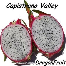 ~CAPISTRANO VALLEY~  WHITE DRAGON FRUIT Red Skin Wht Plup Pitaya 100+ Seed