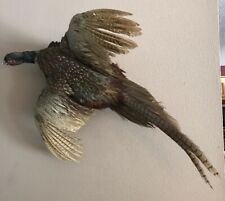 Rooster Ringneck Pheasant Flying Taxidermy Hunting Bird Full Hanging Wall Mount