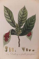 """Dalberg à feuilles pourprées, planche de """"La Flore des Antilles de Tussac, 1808"""