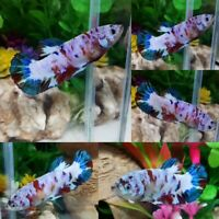 Koi Snow Halfmoon Plakat Female -IMPORT LIVE BETTA FISH FROM THAILAND