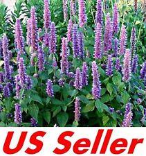 50 Pcs Seeds, Agastache Seeds - Lavender Blue G56, Garden Perennial Flowers