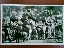 ZEBRA AND WILDEBEEST PHOTO POSTCARD
