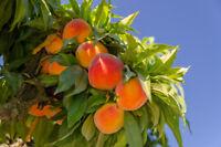 Dwarf Empress Peach Tree - Hardy - Healthy - 1 Gallon Pot - 1 Plant