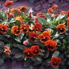Viola - (Viola Cornuta)  Arkwright Ruby- 50 seeds