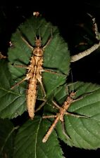 "Eggs of Tisamenus sp ""Cagayan"" x30 / stick insect / phasmids / œufs de phasmes"