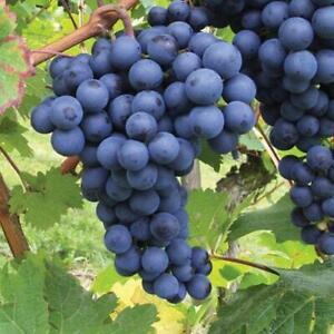 Grape Vitis Plant Boskoop Glory - High Yielding Dessert Grape - for UK Climates