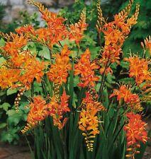 30 EXTRA LARGE BULBS Crocosmia Mixed Summer Flowering Hardy Perennial Plant UKEU