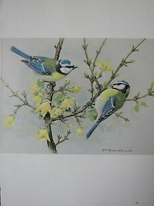 BASIL EDE BIRD PRINT ~ BLUE TIT
